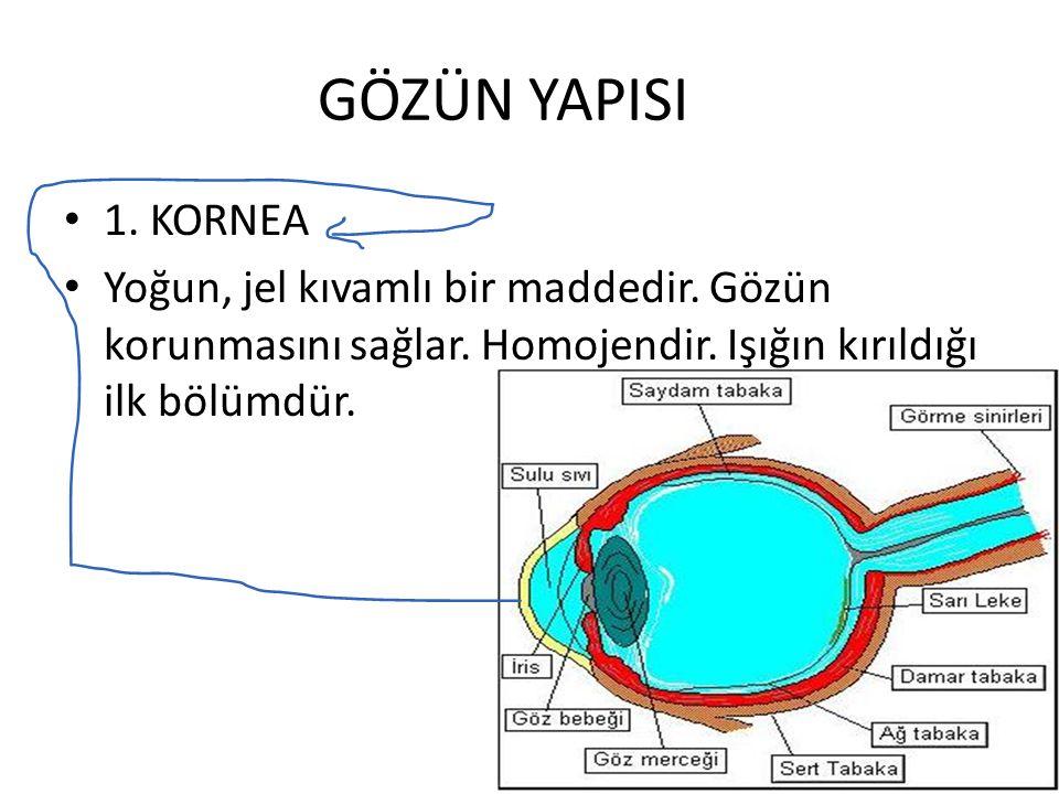 1. KORNEA Yoğun, jel kıvamlı bir maddedir. Gözün korunmasını sağlar. Homojendir. Işığın kırıldığı ilk bölümdür.