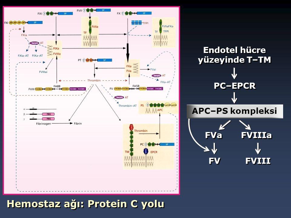 Hemostaz ağı: Protein C yolu Endotel hücre yüzeyinde T–TM PC–EPCR APC–PS kompleksi FVa FVIIIa FV FVIII