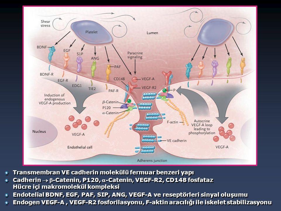 Transmembran VE cadherin molekülü fermuar benzeri yapı Cadherin  -Catenin, P120, -Catenin, VEGF-R2, CD148 fosfataz Hücre içi makromolekül kompleksi