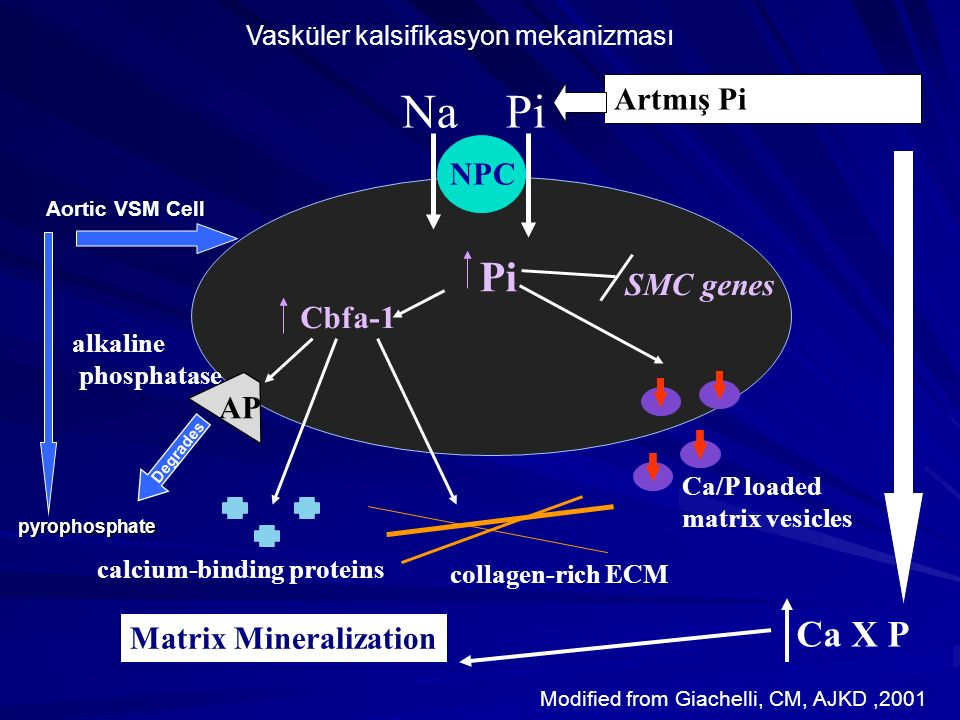 NPC Pi Cbfa-1 Pi AP alkaline phosphatase calcium-binding proteins collagen-rich ECM Ca/P loaded matrix vesicles SMC genes Na Artmış Pi Matrix Minerali