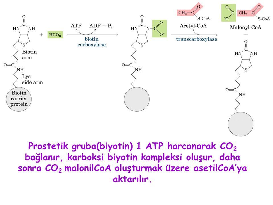 Prostetik gruba(biyotin) 1 ATP harcanarak CO 2 bağlanır, karboksi biyotin kompleksi oluşur, daha sonra CO 2 malonilCoA oluşturmak üzere asetilCoA'ya aktarılır.