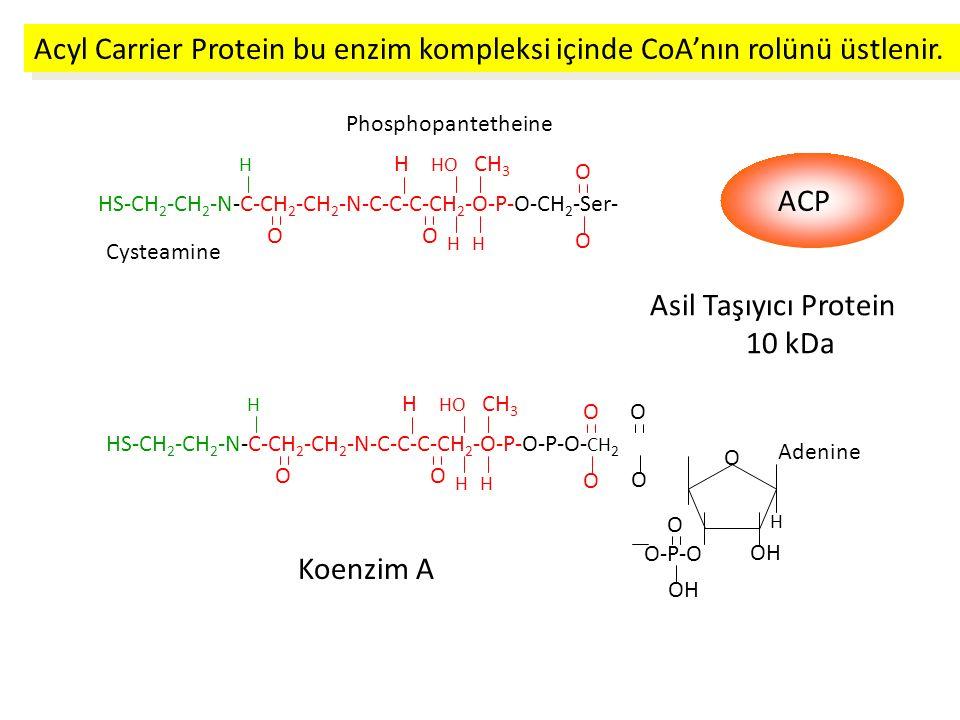 Asil Taşıyıcı Protein 10 kDa Cysteamine Phosphopantetheine HS-CH 2 -CH 2 -N-C-CH 2 -CH 2 -N-C-C-C-CH 2 -O-P-O-P-O- CH 2 OO O O H H H HO CH 3 H O O O Adenine O-P-O O OH H Koenzim A Acyl Carrier Protein bu enzim kompleksi içinde CoA'nın rolünü üstlenir.