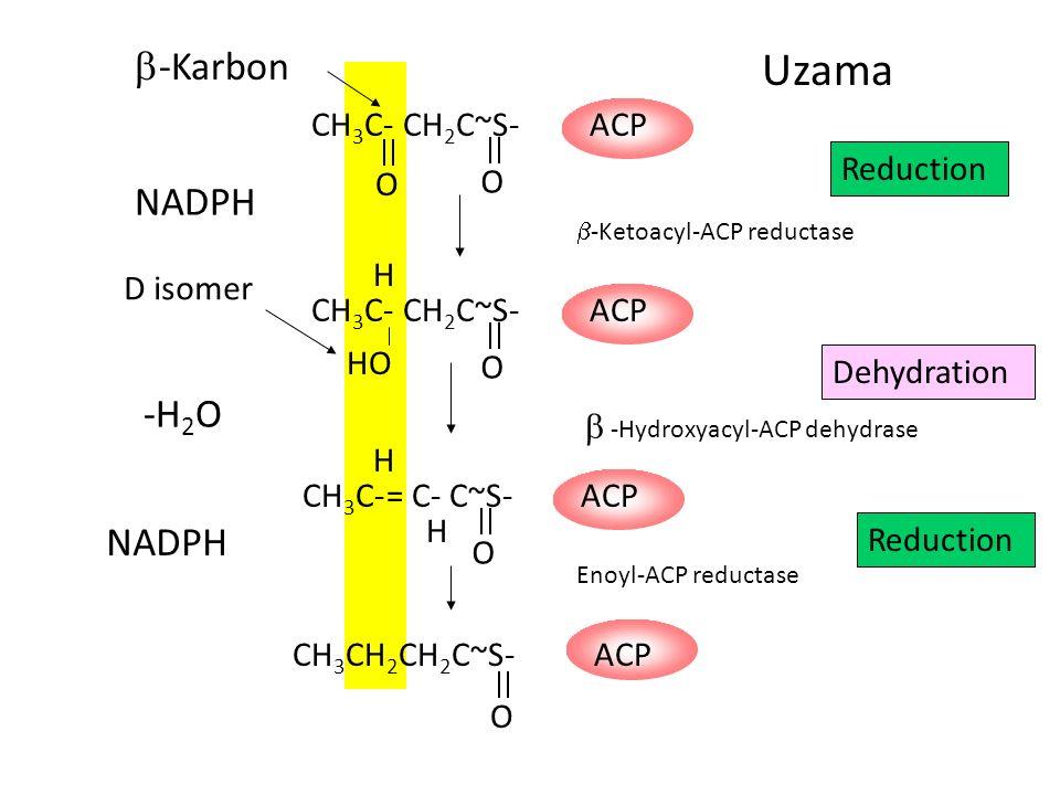 CH 3 C- O CH 2 C~S- O ACP NADPH CH 3 CH 2 CH 2 C~S- O ACP CH 3 C- CH 2 C~S- O ACP HO H CH 3 C- = C- C~S- O ACP H H -H 2 O NADPH  -Karbon Uzama D isomer Reduction Dehydration Reduction  -Ketoacyl-ACP reductase  -Hydroxyacyl-ACP dehydrase Enoyl-ACP reductase