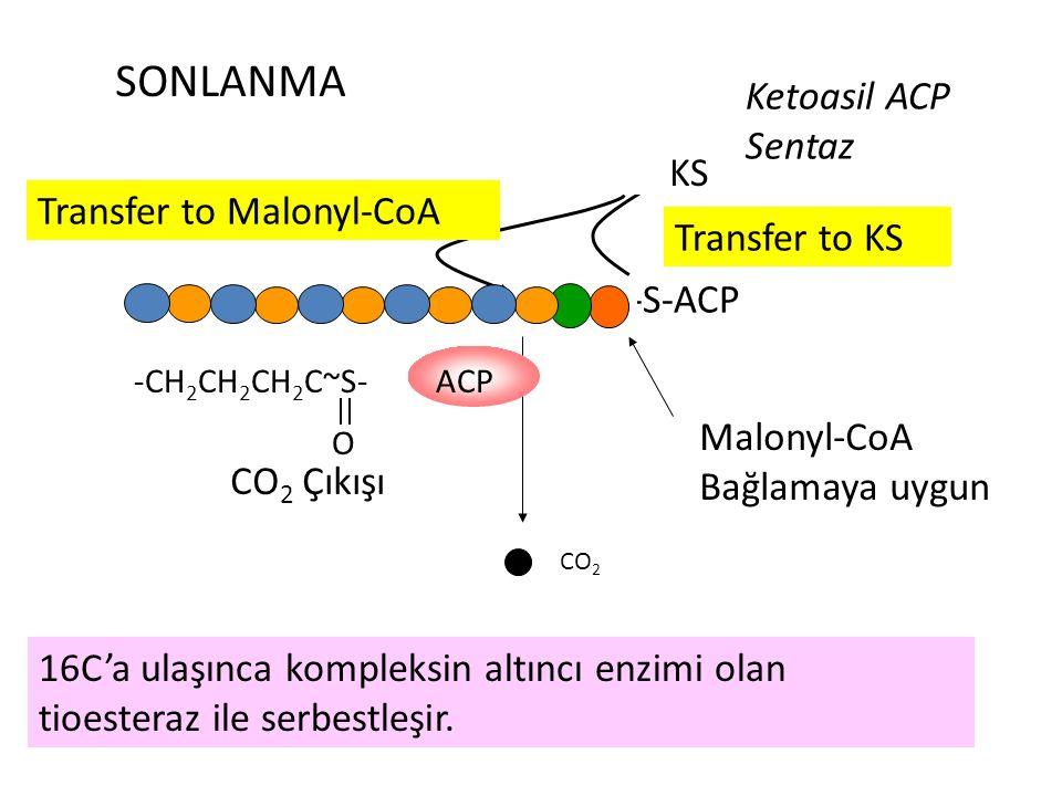 -KS CO 2 -S-ACP SONLANMA Ketoasil ACP Sentaz Malonyl-CoA Bağlamaya uygun Transfer to KS CO 2 Çıkışı Transfer to Malonyl-CoA -CH 2 CH 2 CH 2 C~S- O ACP 16C'a ulaşınca kompleksin altıncı enzimi olan tioesteraz ile serbestleşir.