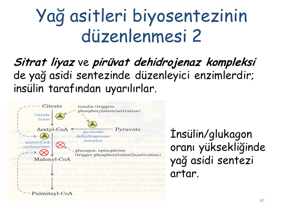 40 Yağ asitleri biyosentezinin düzenlenmesi 2 Sitrat liyaz ve pirüvat dehidrojenaz kompleksi de yağ asidi sentezinde düzenleyici enzimlerdir; insülin tarafından uyarılırlar.