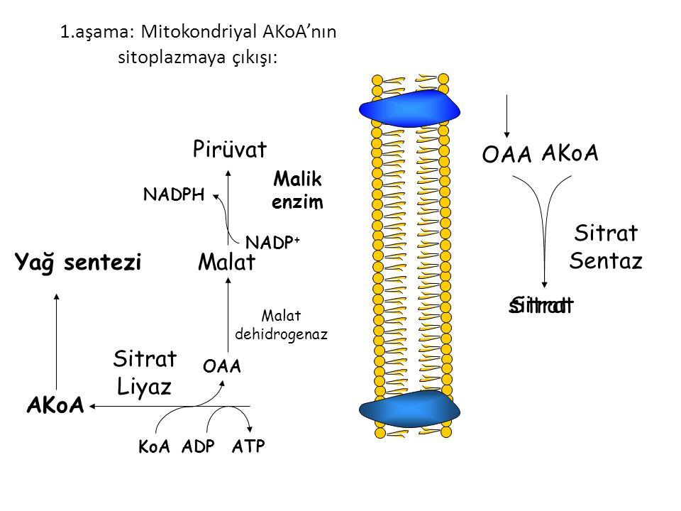 sitrat 1.aşama: Mitokondriyal AKoA'nın sitoplazmaya çıkışı: OAA AKoA Sitrat Sentaz Sitrat ATPADPKoA OAA AKoA Sitrat Liyaz Malat dehidrogenaz Malat Malik enzim Pirüvat NADP + NADPH Yağ sentezi
