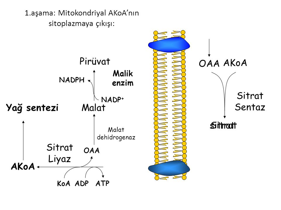 CH 3 C~SCoA O CH 3 C- O CH 2 C~S- O ACP HS-CoACO 2 Asil Taşıyıcı Protein Malonyl-CoA + ACP - OOC-CH 2 C~S- O ACP + HS-CoA KS-Asetil grubu, ACP-Malonil üzerine atak yapar.