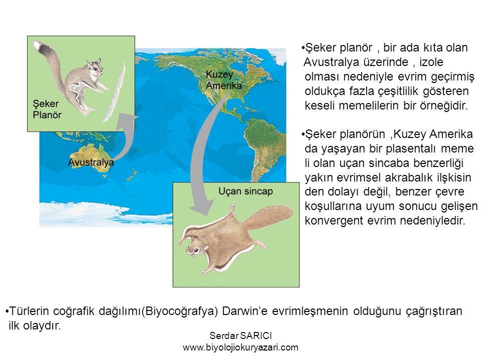 Şeker planör, bir ada kıta olan Avustralya üzerinde, izole olması nedeniyle evrim geçirmiş oldukça fazla çeşitlilik gösteren keseli memelilerin bir örneğidir.