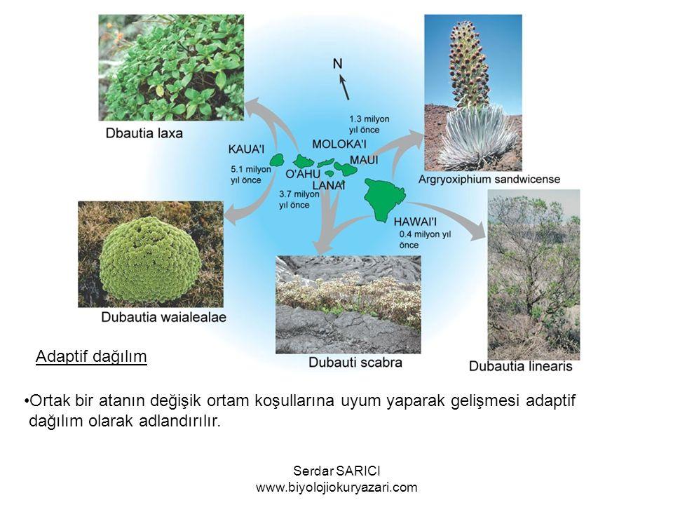 Adaptif dağılım Ortak bir atanın değişik ortam koşullarına uyum yaparak gelişmesi adaptif dağılım olarak adlandırılır.