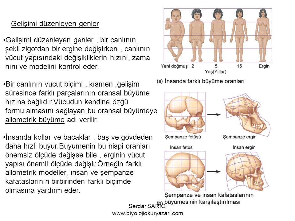 Gelişimi düzenleyen genler Gelişimi düzenleyen genler, bir canlının şekli zigotdan bir ergine değişirken, canlının vücut yapısındaki değişikliklerin hızını, zama nını ve modelini kontrol eder.