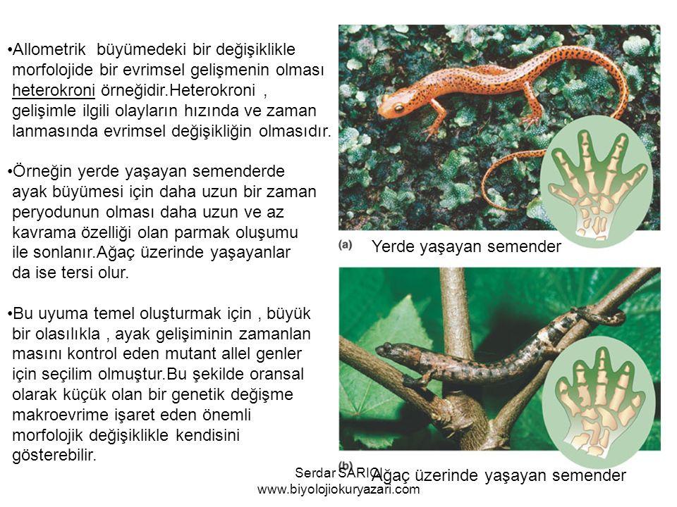 Yerde yaşayan semender Ağaç üzerinde yaşayan semender Allometrik büyümedeki bir değişiklikle morfolojide bir evrimsel gelişmenin olması heterokroni örneğidir.Heterokroni, gelişimle ilgili olayların hızında ve zaman lanmasında evrimsel değişikliğin olmasıdır.