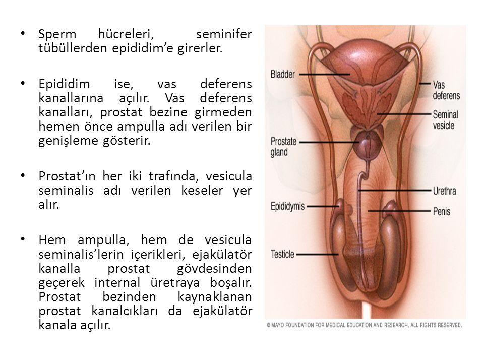 Sperm hücreleri, seminifer tübüllerden epididim'e girerler. Epididim ise, vas deferens kanallarına açılır. Vas deferens kanalları, prostat bezine girm