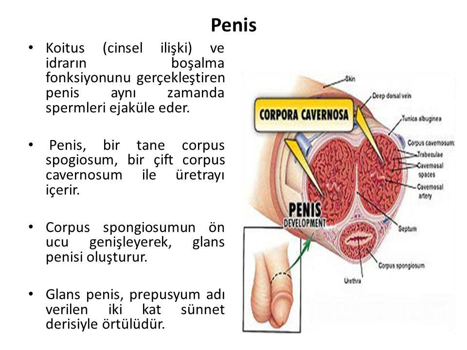 Penis Koitus (cinsel ilişki) ve idrarın boşalma fonksiyonunu gerçekleştiren penis aynı zamanda spermleri ejaküle eder. Penis, bir tane corpus spogiosu