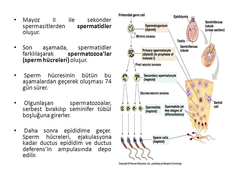 Mayoz II ile sekonder spermasitlerden spermatidler oluşur. Son aşamada, spermatidler farklılaşarak spermatozoa'lar (sperm hücreleri) oluşur. Sperm hüc