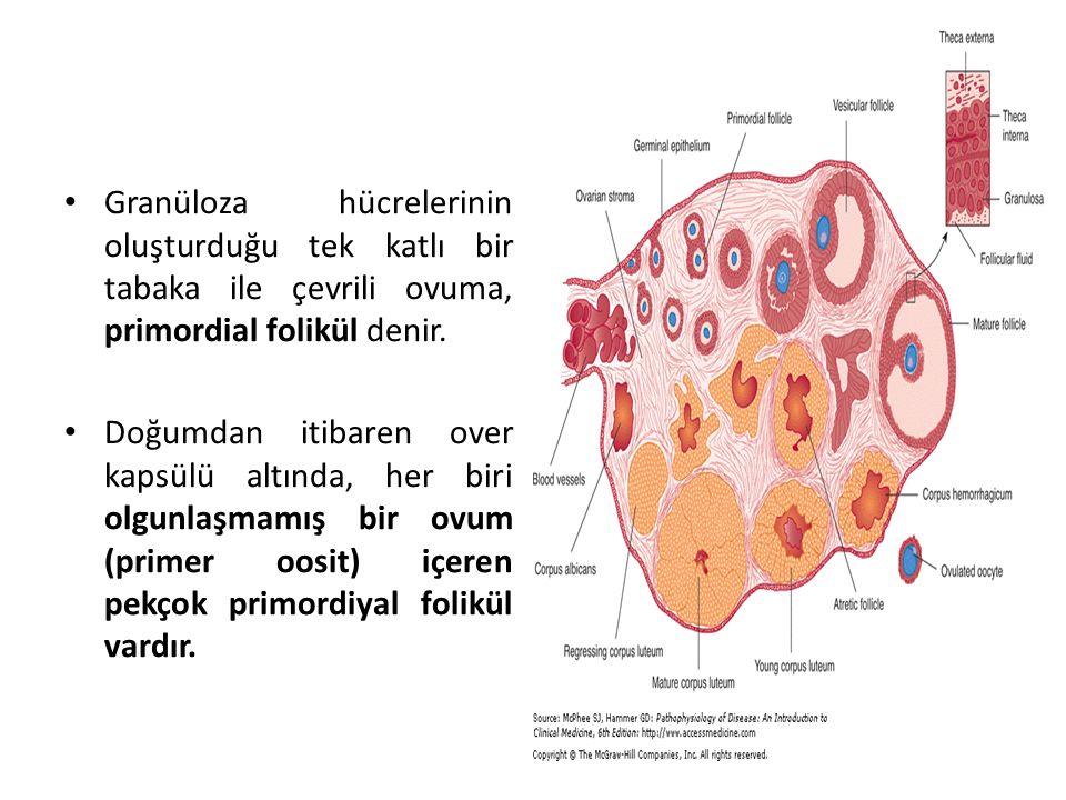 Granüloza hücrelerinin oluşturduğu tek katlı bir tabaka ile çevrili ovuma, primordial folikül denir. Doğumdan itibaren over kapsülü altında, her biri