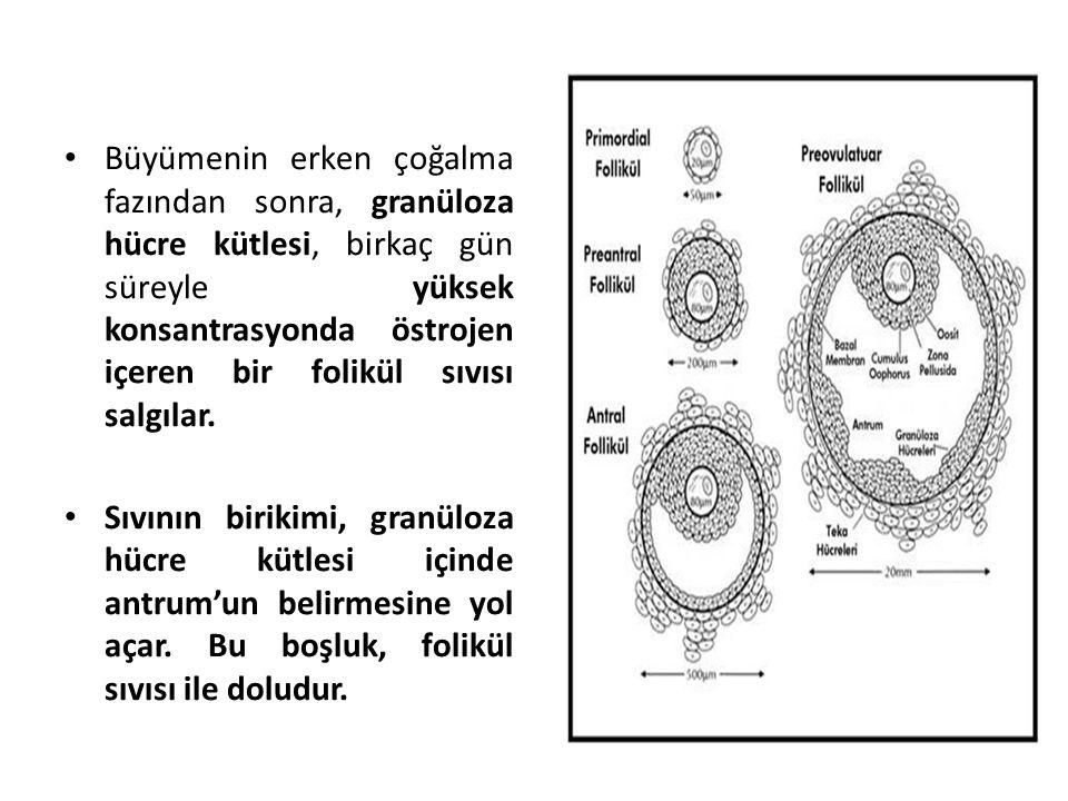 Büyümenin erken çoğalma fazından sonra, granüloza hücre kütlesi, birkaç gün süreyle yüksek konsantrasyonda östrojen içeren bir folikül sıvısı salgılar