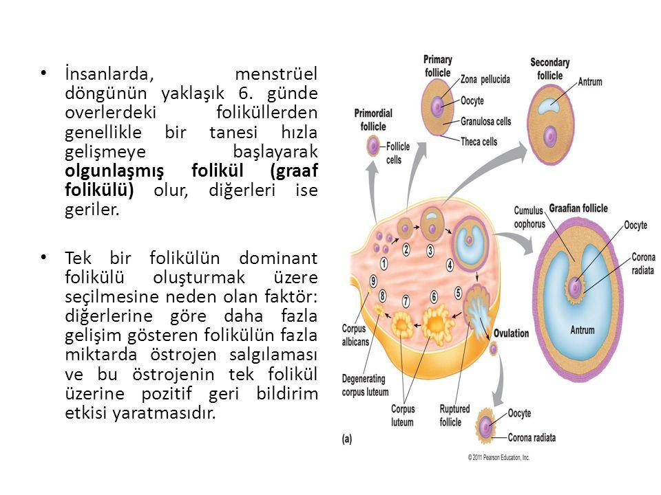 İnsanlarda, menstrüel döngünün yaklaşık 6. günde overlerdeki foliküllerden genellikle bir tanesi hızla gelişmeye başlayarak olgunlaşmış folikül (graaf