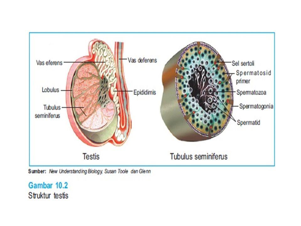 Boyunda ise, spermin hareketi için gerekli enerjiyi üreten mitokondriler bulunur.