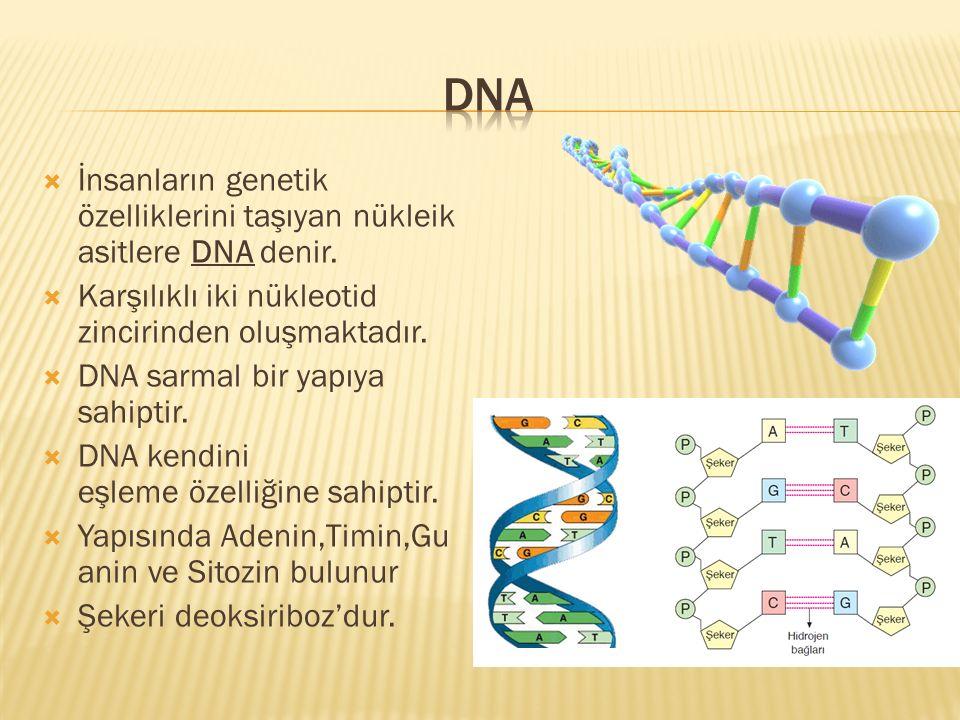 İnsanların genetik özelliklerini taşıyan nükleik asitlere DNA denir.  Karşılıklı iki nükleotid zincirinden oluşmaktadır.  DNA sarmal bir yapıya sa