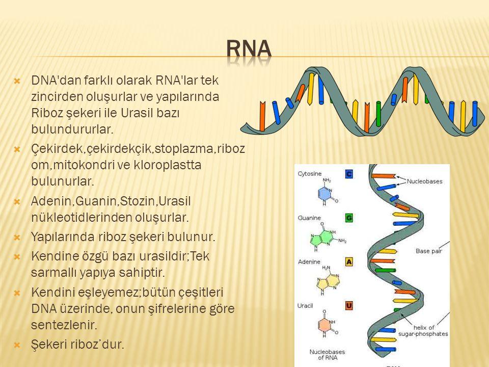  DNA'dan farklı olarak RNA'lar tek zincirden oluşurlar ve yapılarında Riboz şekeri ile Urasil bazı bulundururlar.  Çekirdek,çekirdekçik,stoplazma,ri