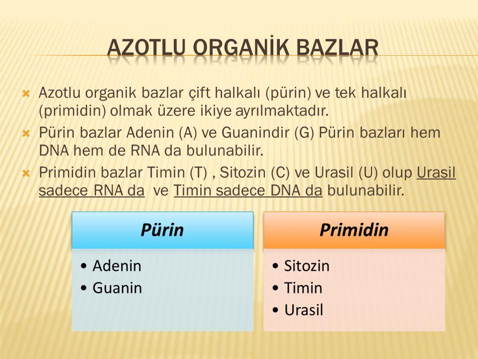  Azotlu organik bazlar çift halkalı (pürin) ve tek halkalı (primidin) olmak üzere ikiye ayrılmaktadır.  Pürin bazlar Adenin (A) ve Guanindir (G) Pür