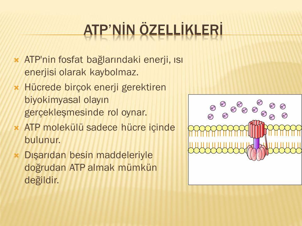  ATP'nin fosfat bağlarındaki enerji, ısı enerjisi olarak kaybolmaz.  Hücrede birçok enerji gerektiren biyokimyasal olayın gerçekleşmesinde rol oynar