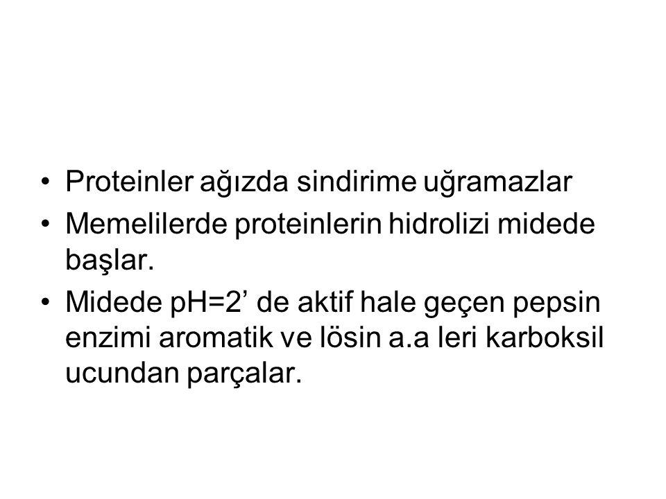 Proteinler ağızda sindirime uğramazlar Memelilerde proteinlerin hidrolizi midede başlar. Midede pH=2' de aktif hale geçen pepsin enzimi aromatik ve lö