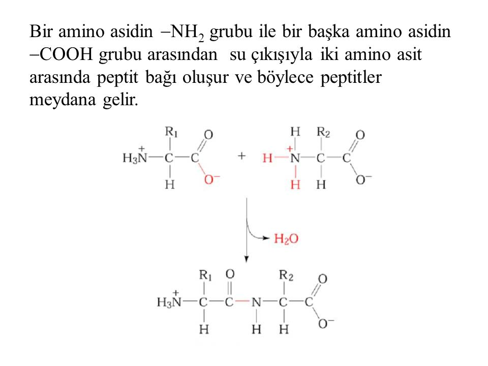 Bir amino asidin  NH 2 grubu ile bir başka amino asidin  COOH grubu arasından su çıkışıyla iki amino asit arasında peptit bağı oluşur ve böylece pep