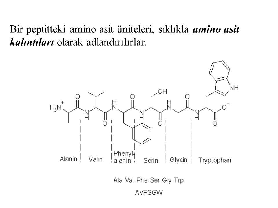 Peptidin bir ucunda serbest  -amino grubuna sahip amino asit kalıntısı bulunur ki bu uca amino-terminal uç veya N- terminal uç denir.