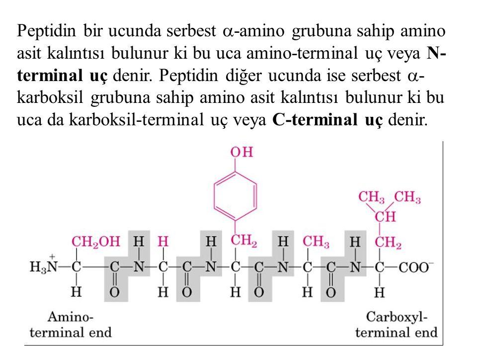 Peptidin bir ucunda serbest  -amino grubuna sahip amino asit kalıntısı bulunur ki bu uca amino-terminal uç veya N- terminal uç denir. Peptidin diğer