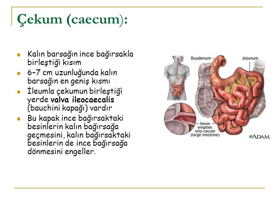 Çekum (caecum): Kalın barsağın ince bağırsakla birleştiği kısım 6–7 cm uzunluğunda kalın barsağın en geniş kısmı İleumla çekumun birleştiği yerde valv
