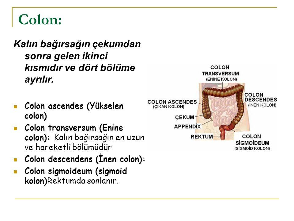 Colon: Kalın bağırsağın çekumdan sonra gelen ikinci kısmıdır ve dört bölüme ayrılır. Colon ascendes (Yükselen colon) Colon transversum (Enine colon):