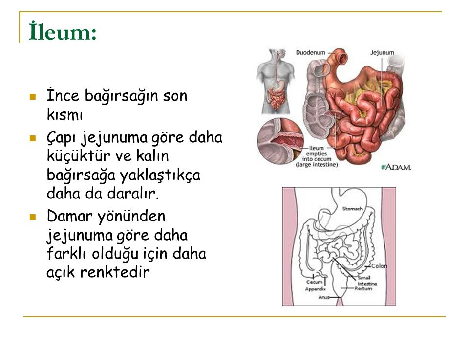 Kalın Bağırsaklar (İntestinum Crassum)