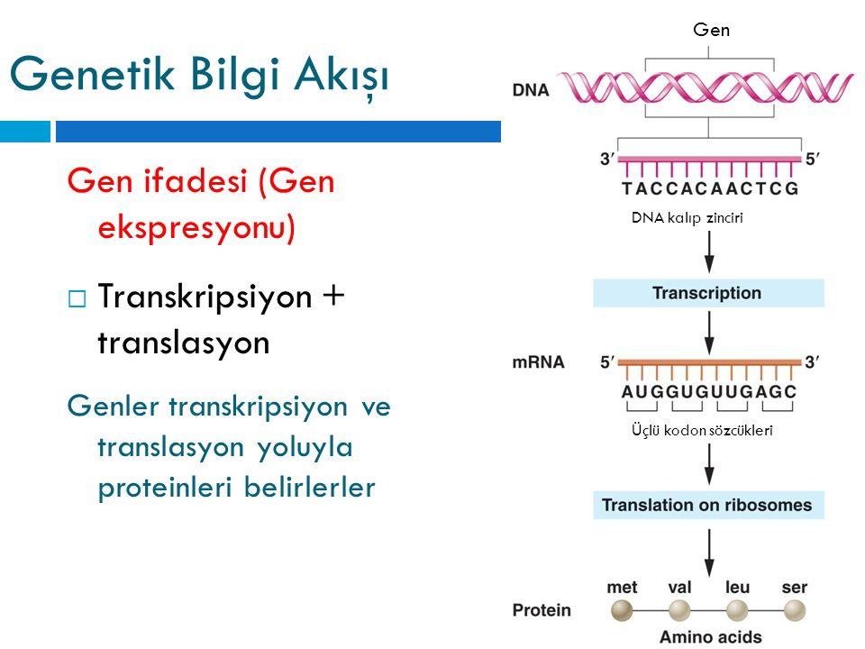 Gen Üçlü kodon sözcükleri DNA kalıp zinciri Genetik Bilgi Akışı Gen ifadesi (Gen ekspresyonu)  Transkripsiyon + translasyon Genler transkripsiyon ve translasyon yoluyla proteinleri belirlerler