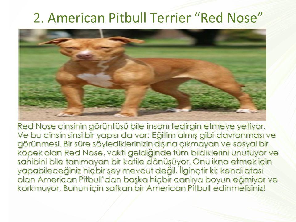 """2. American Pitbull Terrier """"Red Nose"""" Red Nose cinsinin görüntüsü bile insanı tedirgin etmeye yetiyor. Ve bu cinsin sinsi bir yapısı da var: Eğitim a"""