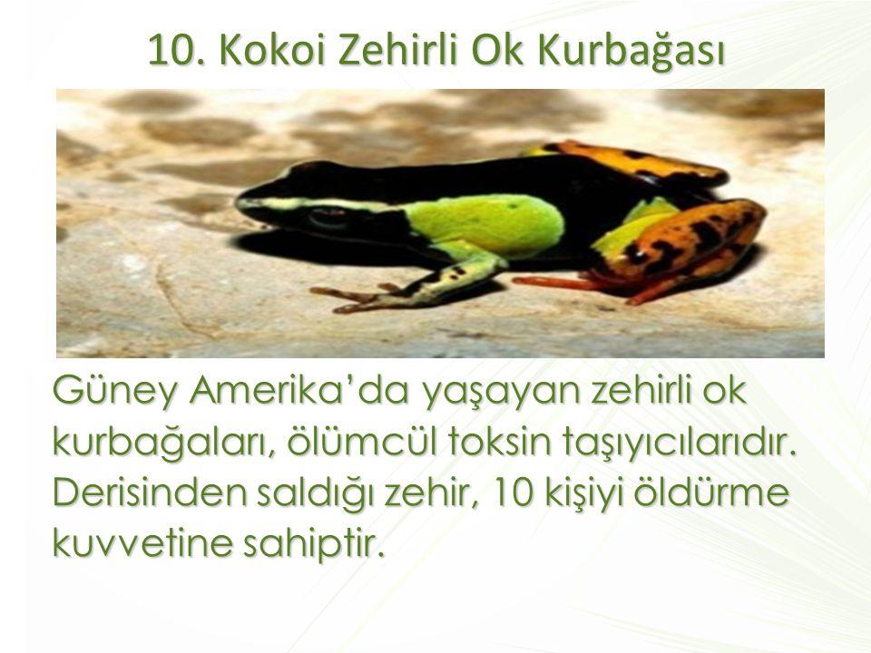 10. Kokoi Zehirli Ok Kurbağası Güney Amerika'da yaşayan zehirli ok kurbağaları, ölümcül toksin taşıyıcılarıdır. Derisinden saldığı zehir, 10 kişiyi öl
