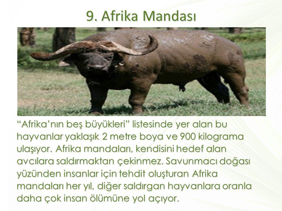 """9. Afrika Mandası """"Afrika'nın beş büyükleri"""" listesinde yer alan bu hayvanlar yaklaşık 2 metre boya ve 900 kilograma ulaşıyor. Afrika mandaları, kendi"""