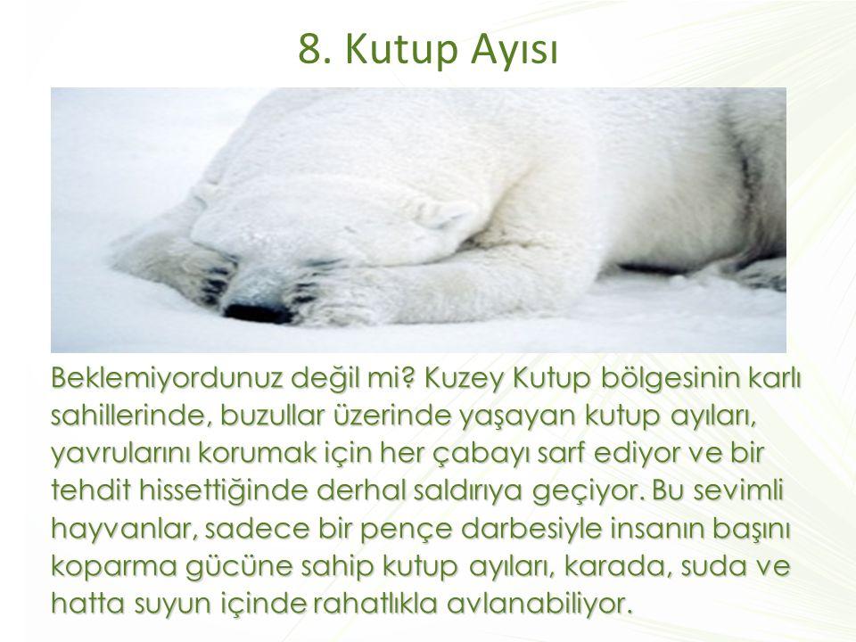 8. Kutup Ayısı Beklemiyordunuz değil mi? Kuzey Kutup bölgesinin karlı sahillerinde, buzullar üzerinde yaşayan kutup ayıları, yavrularını korumak için