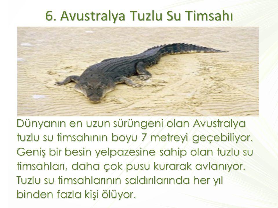 6. Avustralya Tuzlu Su Timsahı Dünyanın en uzun sürüngeni olan Avustralya tuzlu su timsahının boyu 7 metreyi geçebiliyor. Geniş bir besin yelpazesine