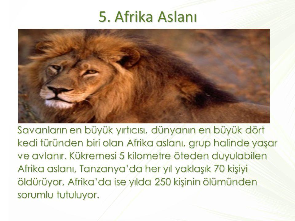 5. Afrika Aslanı Savanların en büyük yırtıcısı, dünyanın en büyük dört kedi türünden biri olan Afrika aslanı, grup halinde yaşar ve avlanır. Kükremesi