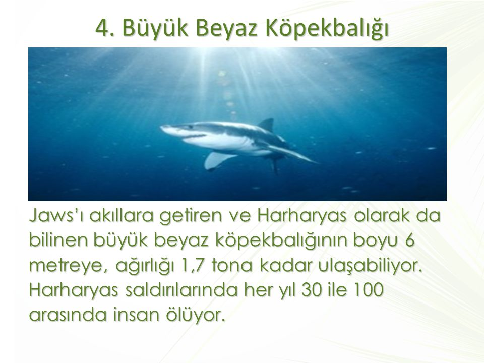 4. Büyük Beyaz Köpekbalığı Jaws'ı akıllara getiren ve Harharyas olarak da bilinen büyük beyaz köpekbalığının boyu 6 metreye, ağırlığı 1,7 tona kadar u