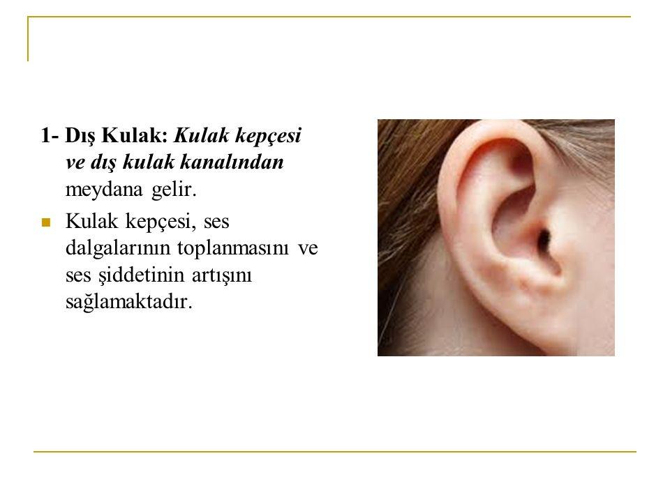 1- Dış Kulak: Kulak kepçesi ve dış kulak kanalından meydana gelir. Kulak kepçesi, ses dalgalarının toplanmasını ve ses şiddetinin artışını sağlamaktad