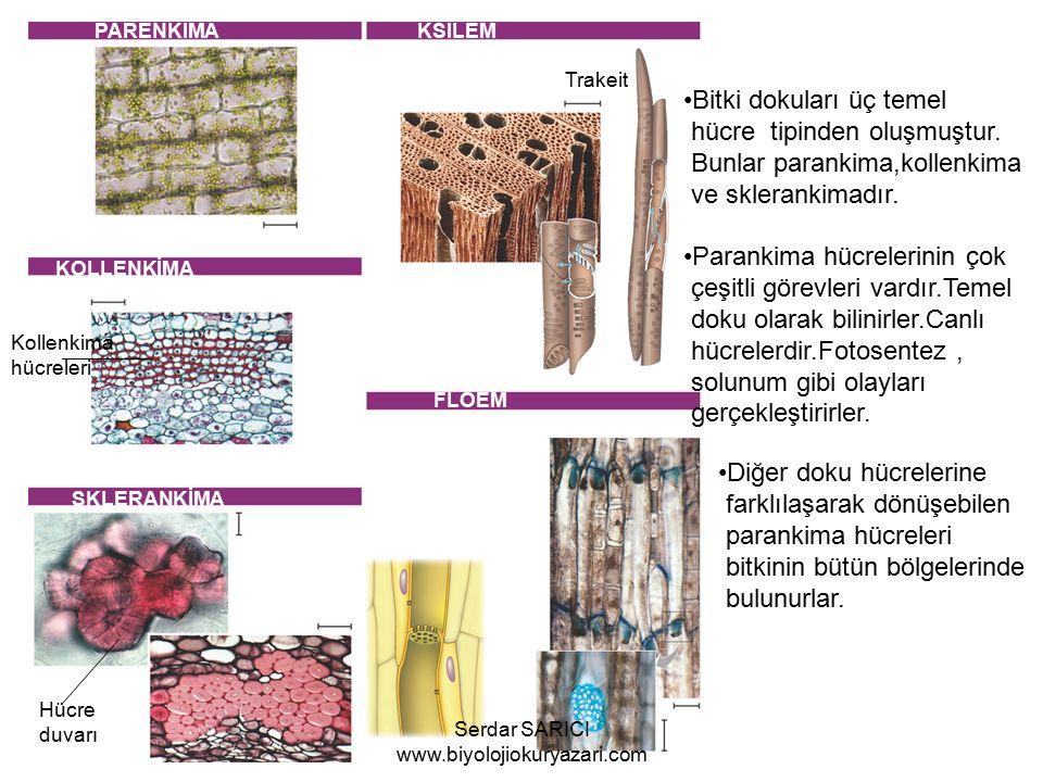 PARENKİMA KSİLEM KOLLENKİMA FLOEM SKLERANKİMA Hücre duvarı Trakeit Kollenkima hücreleri Bitki dokuları üç temel hücre tipinden oluşmuştur.