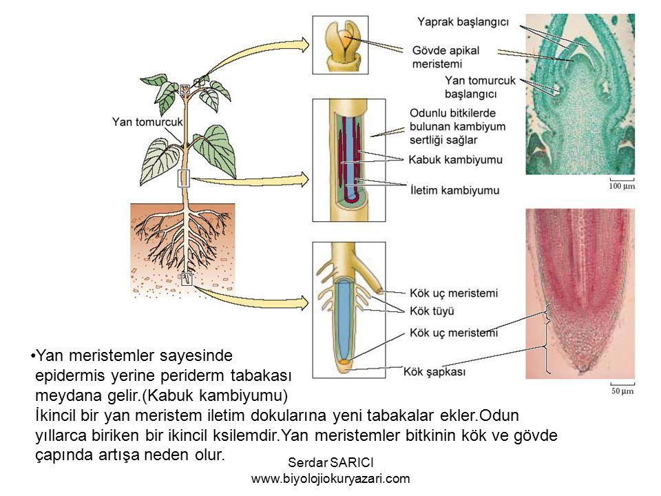 Yan meristemler sayesinde epidermis yerine periderm tabakası meydana gelir.(Kabuk kambiyumu) İkincil bir yan meristem iletim dokularına yeni tabakalar ekler.Odun yıllarca biriken bir ikincil ksilemdir.Yan meristemler bitkinin kök ve gövde çapında artışa neden olur.
