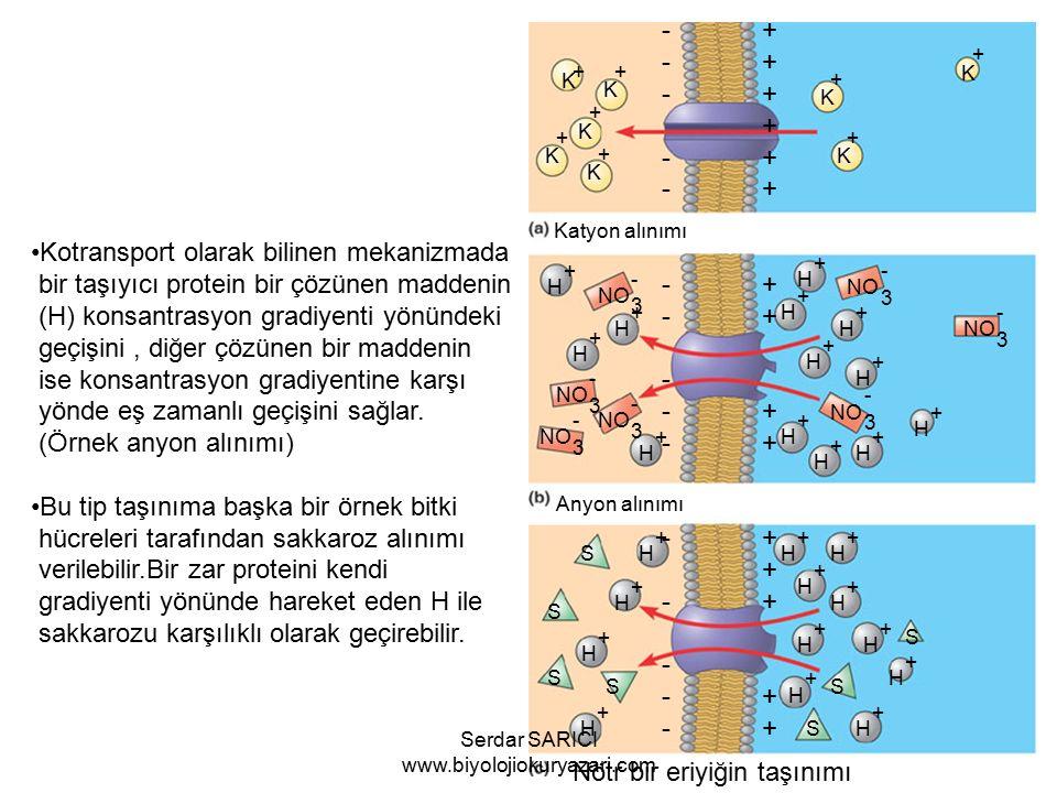 Katyon alınımı K + K + K + K + K + K + K + K + ++++++++++++++++++++++++++++++ ------------------------------ Anyon alınımı Nötr bir eriyiğin taşınımı Kotransport olarak bilinen mekanizmada bir taşıyıcı protein bir çözünen maddenin (H) konsantrasyon gradiyenti yönündeki geçişini, diğer çözünen bir maddenin ise konsantrasyon gradiyentine karşı yönde eş zamanlı geçişini sağlar.