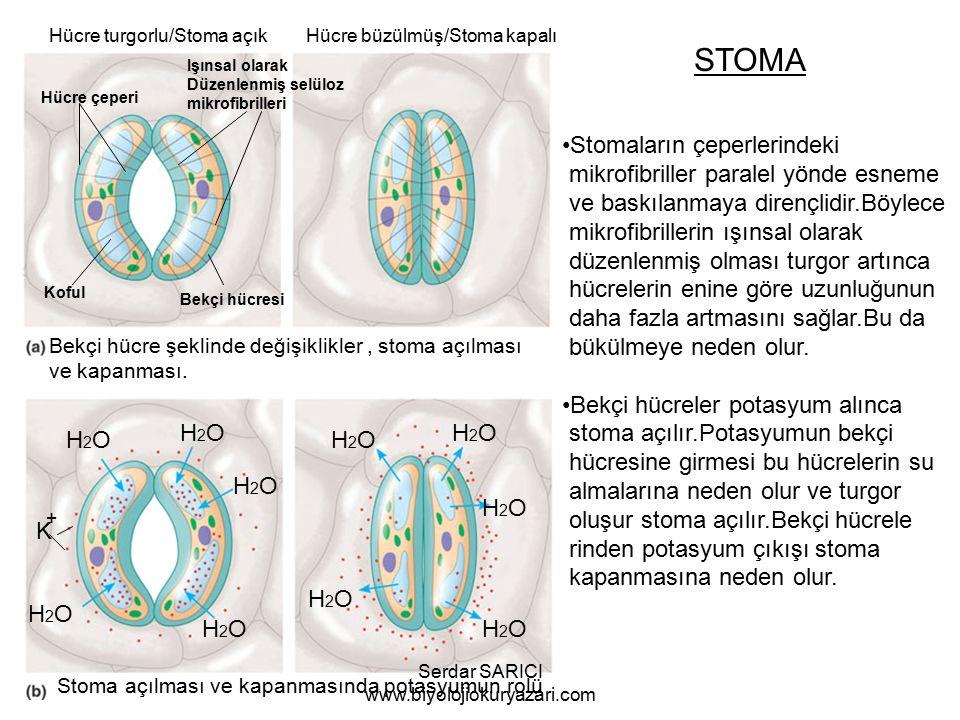 STOMA Hücre çeperi Koful Bekçi hücresi Işınsal olarak Düzenlenmiş selüloz mikrofibrilleri Hücre turgorlu/Stoma açık Hücre büzülmüş/Stoma kapalı Bekçi hücre şeklinde değişiklikler, stoma açılması ve kapanması.