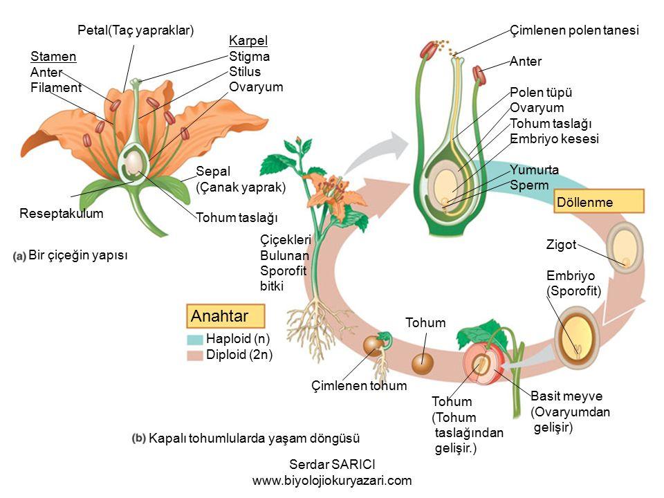 Anahtar Haploid (n) Diploid (2n) Döllenme Zigot Embriyo (Sporofit) Basit meyve (Ovaryumdan gelişir) Tohum (Tohum taslağından gelişir.) Tohum Çimlenen tohum Çiçekleri Bulunan Sporofit bitki Çimlenen polen tanesi Anter Polen tüpü Ovaryum Tohum taslağı Embriyo kesesi Yumurta Sperm Karpel Stigma Stilus Ovaryum Stamen Anter Filament Petal(Taç yapraklar) Sepal (Çanak yaprak) Tohum taslağı Reseptakulum Bir çiçeğin yapısı Kapalı tohumlularda yaşam döngüsü Serdar SARICI www.biyolojiokuryazari.com