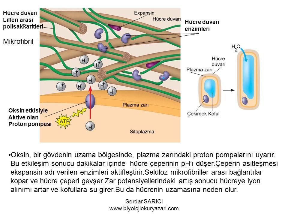 Mikrofibril Hücre duvarı Lifleri arası polisakkaritleri Hücre duvarı enzimleri Oksin etkisiyle Aktive olan Proton pompası Oksin, bir gövdenin uzama bölgesinde, plazma zarındaki proton pompalarını uyarır.