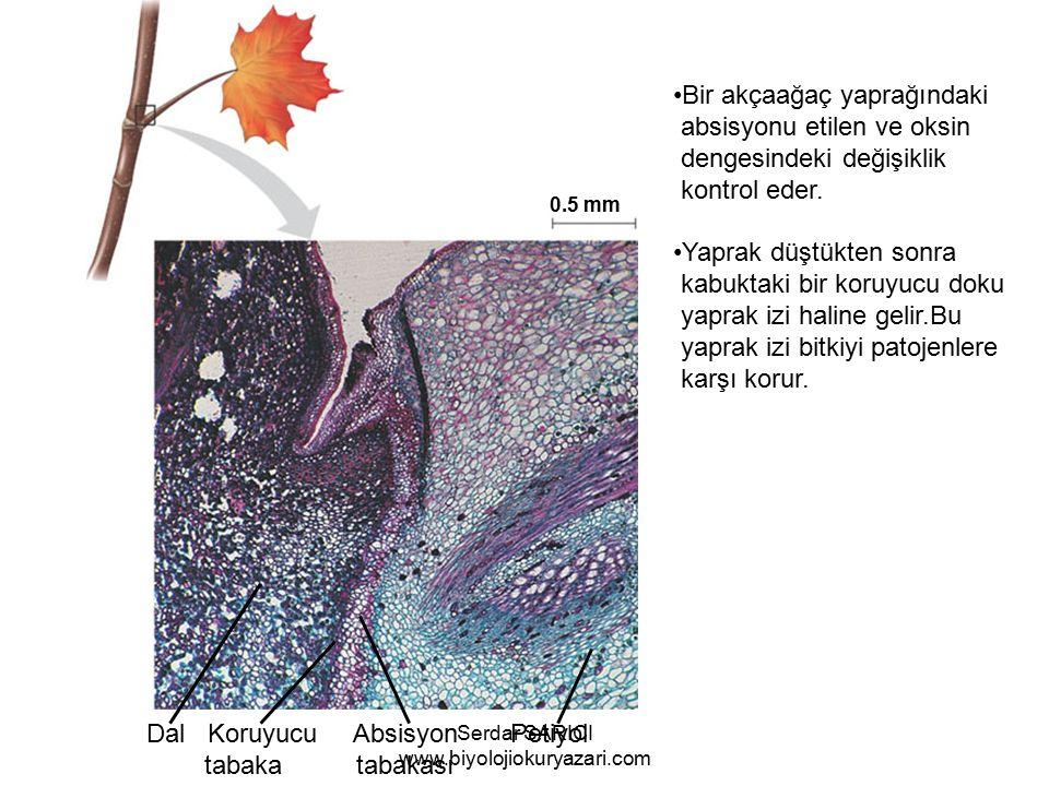 Dal Koruyucu Absisyon Petiyol tabaka tabakası Bir akçaağaç yaprağındaki absisyonu etilen ve oksin dengesindeki değişiklik kontrol eder.