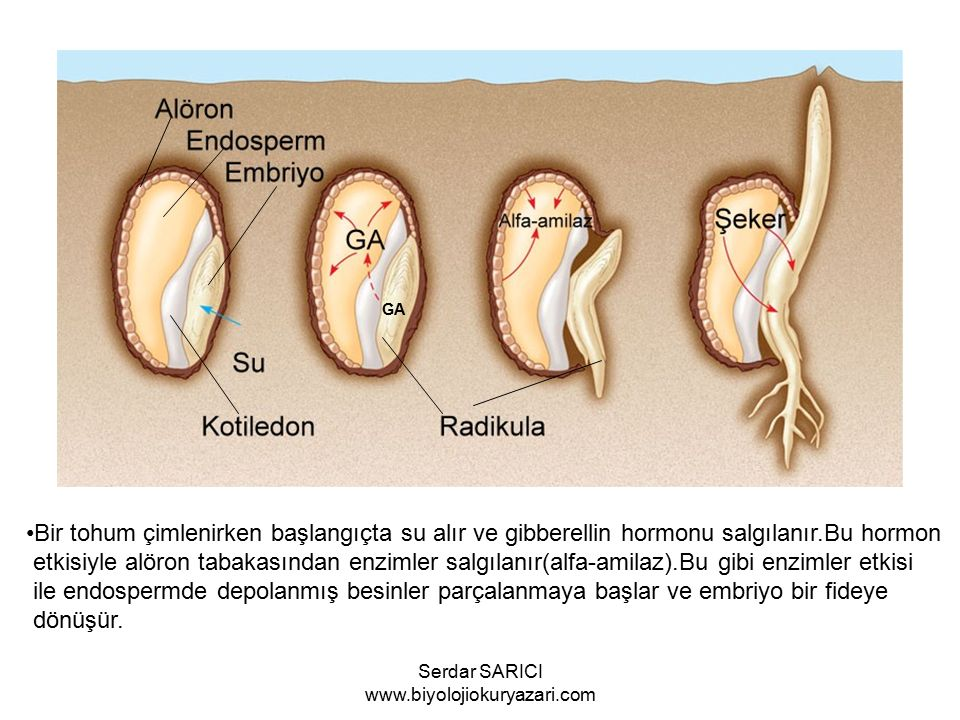 GA Bir tohum çimlenirken başlangıçta su alır ve gibberellin hormonu salgılanır.Bu hormon etkisiyle alöron tabakasından enzimler salgılanır(alfa-amilaz).Bu gibi enzimler etkisi ile endospermde depolanmış besinler parçalanmaya başlar ve embriyo bir fideye dönüşür.
